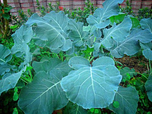 kale vegetable green