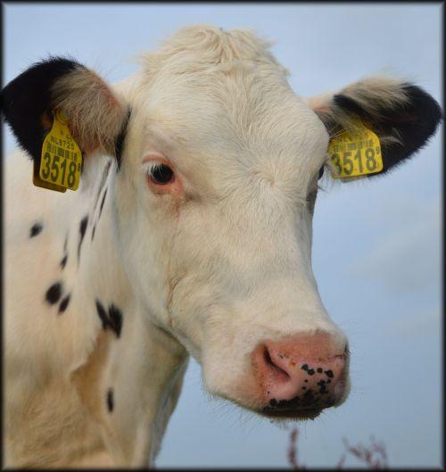 Calf Speckles