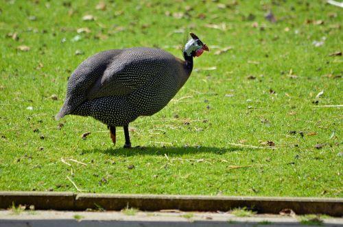 Turkija, gyvūnas, parkas, gamta, paukštis, Turkija