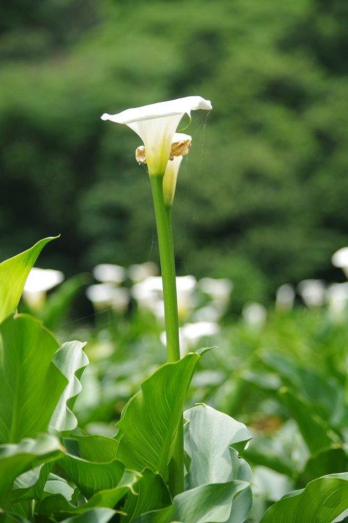 kalla  garden  inflorescence
