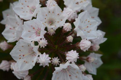 kalmia latifolia elf flower white