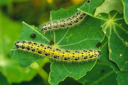kålsommerfugl  larvae  natural