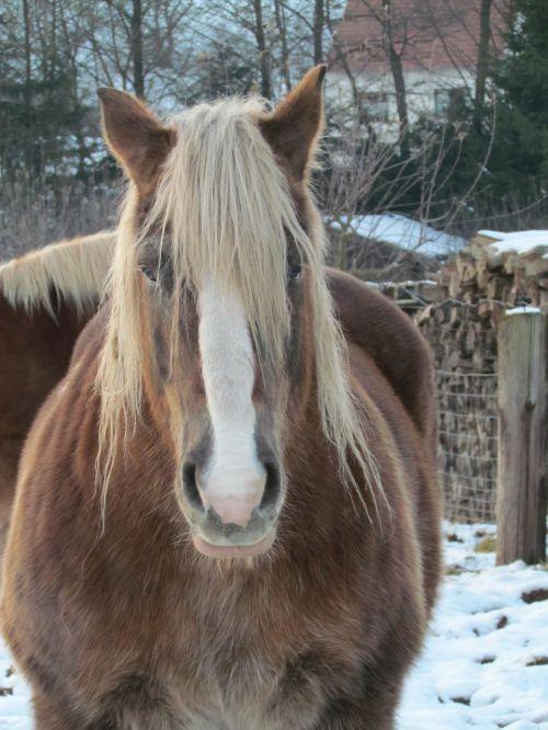kaltblut horse winter