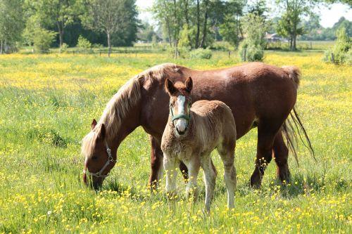 kaltblut horse animal