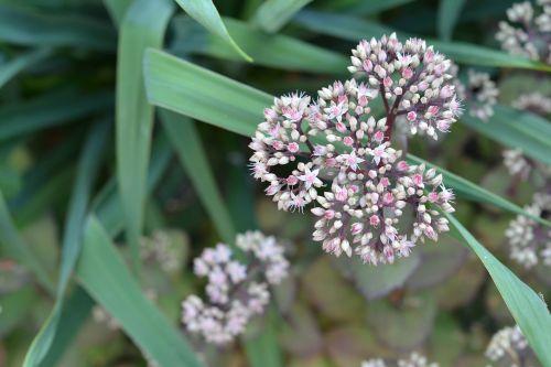 kamchatka stonecrop,daugiametis,sedum,gėlė,sodo gėlės,sodas