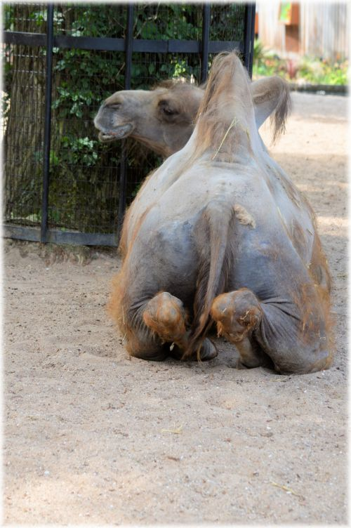 Camel - The Prayer 2