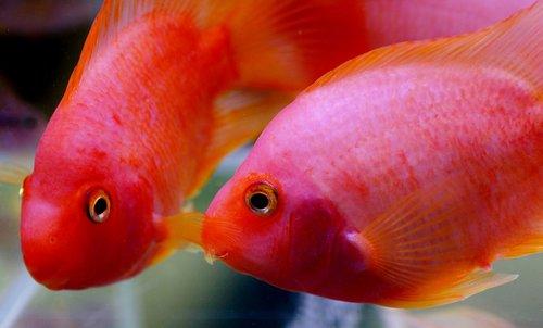 kančík  cichlida  aquarium