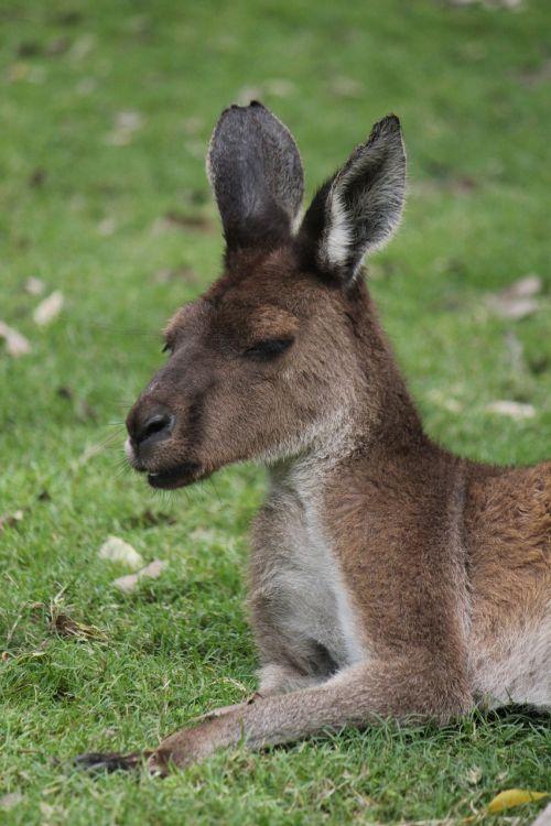 kangaroo australia western australia