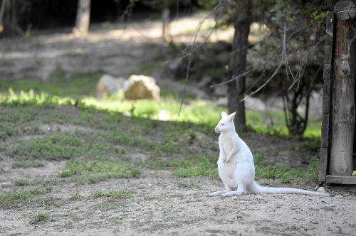 albino kangaroo animal