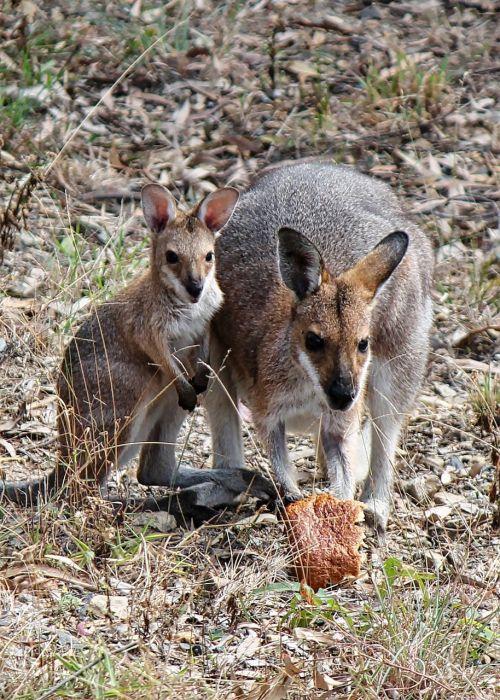 kangaroo joey baby