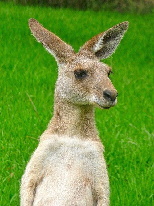 kangaroo expression cute