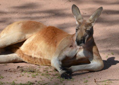 kangaroo boss zoo
