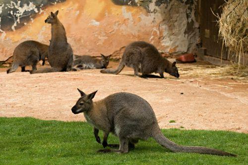 kangaroo kangaroos zoo