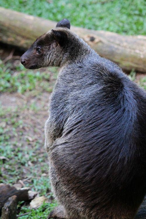 kangaroo ground kangaroo animal