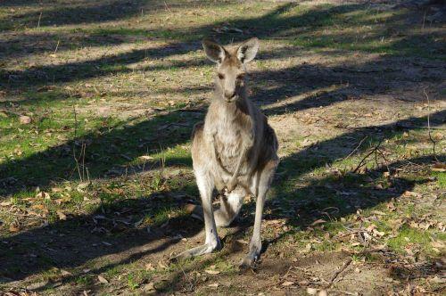 kangaroo animal australian