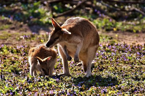 kangaroo young animal mother