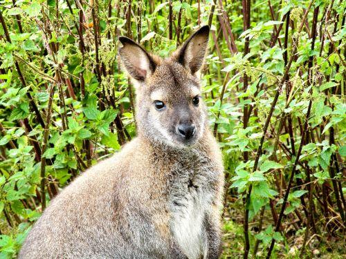 kangaroo animal mammal