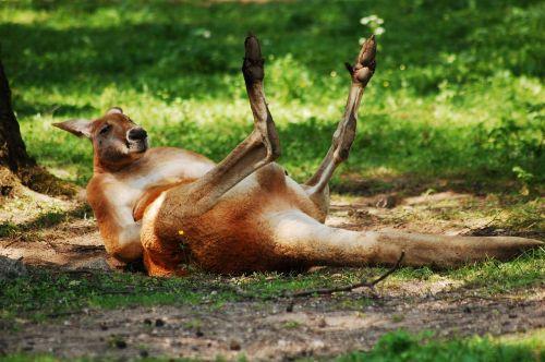 kangaroo zoo animal