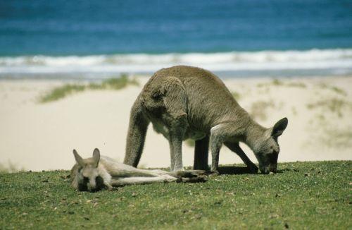 kangaroo marsupial australia