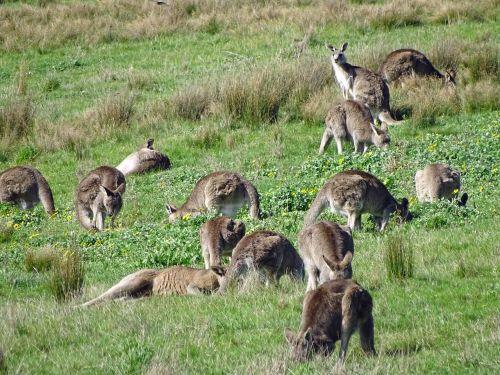 kangaroo kangaroo mob eastern grey kangaroo