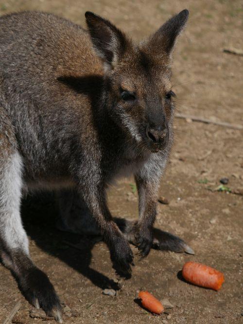 Kengūra,Wallibi,zoologijos sodas,Reynou,france parkas,gyvūnas,gamta,parkas,aplankyti,gyvūnų parkas
