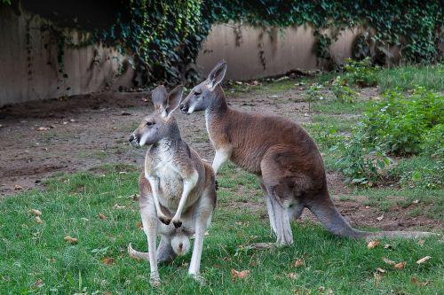 kangaroo marsupial zoo