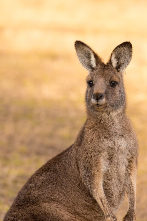 kangaroo  marsupial  mammal