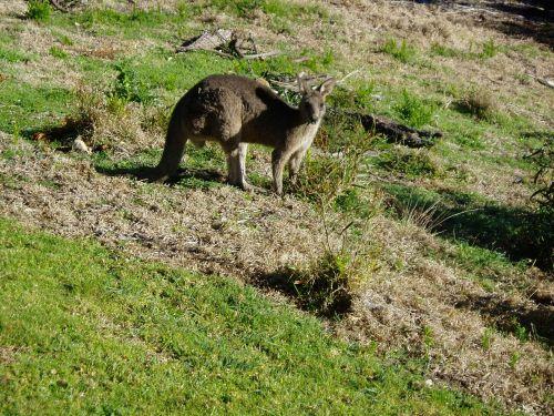 kangaroo australia marsupial