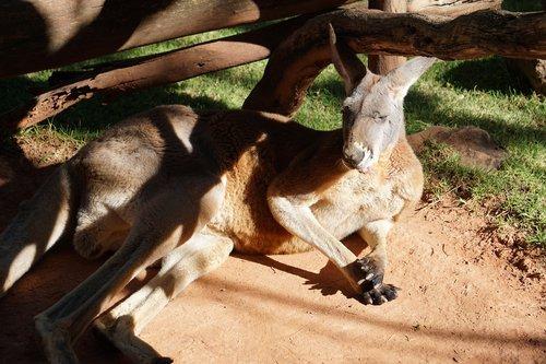kangaroo  animal  animals