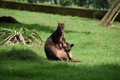 kangaroo  mom with her little  baby kangaroo