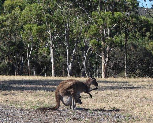 kangaroo  joey  pouch