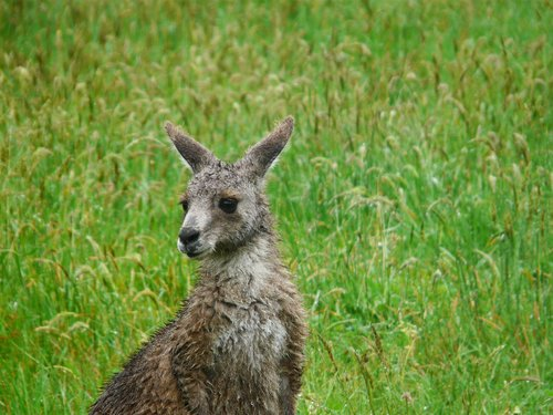 kangaroo  australia  animal
