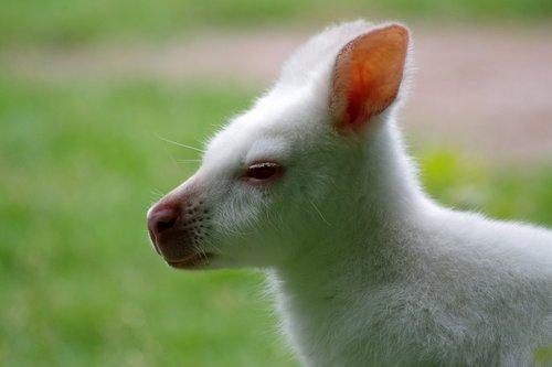 kangaroo  albino  white