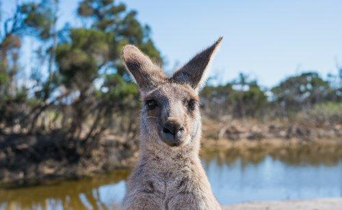 kangaroo  australia  nature