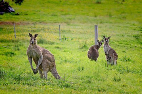 kangaroo australia macropus giganteus