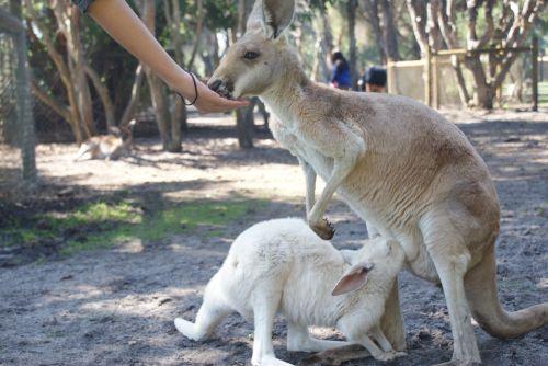 kangaroo joey australia