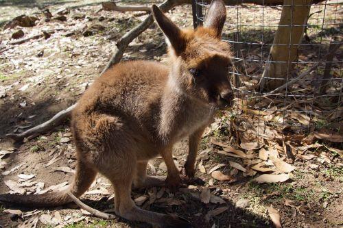 kangaroo wallaby animal