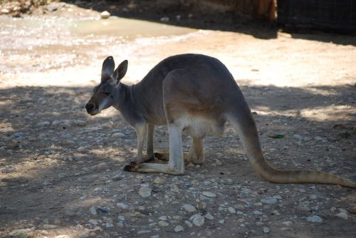 Kangaroo In Australian Zoo
