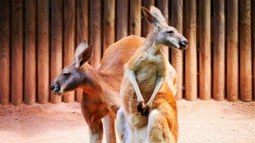 kangaroos marsupial red kangaroo