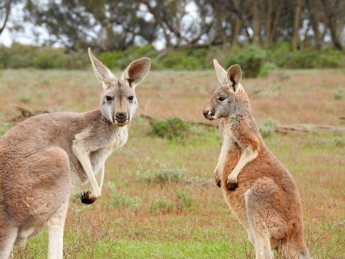 kangaroos standing looking