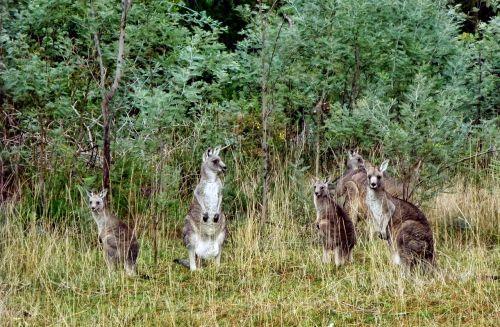 kangaroos bushland australia