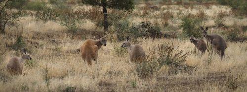kangaroos outback australia