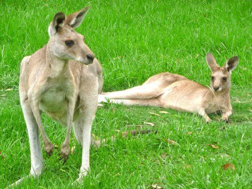 kangaroos animal kangaroo