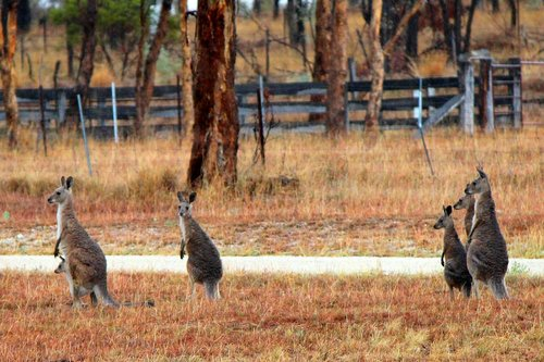 kangaroos  wallabies  wallaby