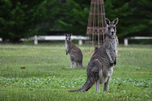kangaroos  wildlife  nature
