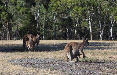 kangaroos  wild  conservation park
