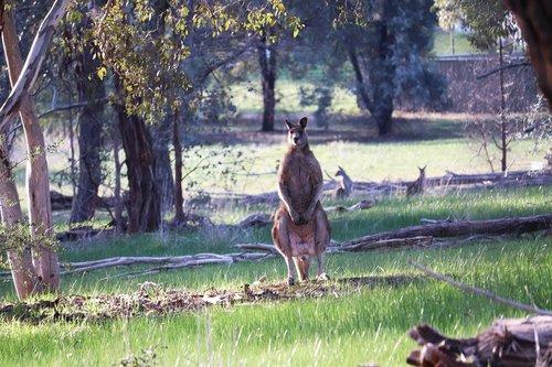 kangaroos  wild  animals