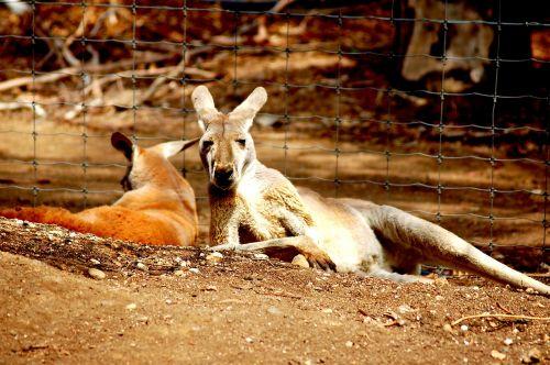 kangaroos australia zoo