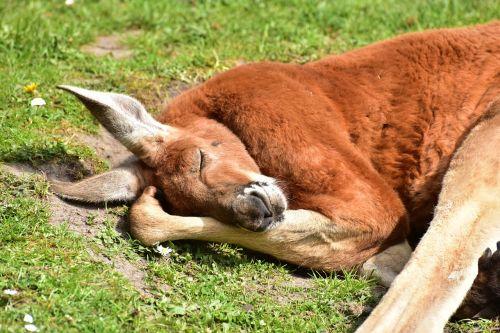 kangaroos red kangaroo mammals