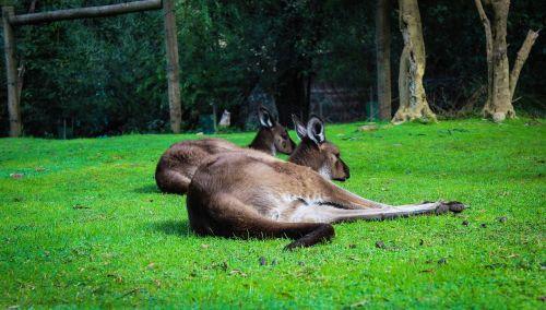 kangaroos animals australia